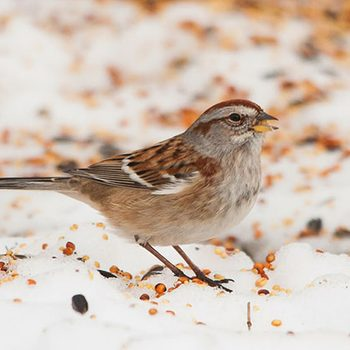 American Tree Sparrows are very common visitors at seed piles throughout much of the northern 2/3 of the US and all of Canada during the winter months. (Check out their range map on eBird)