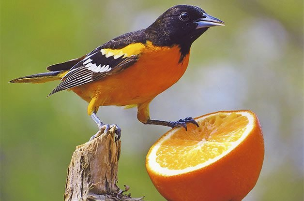 Feeding Birds with Oranges