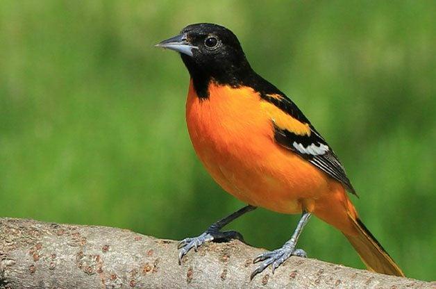 Birding Basics Baltimore oriole