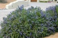Bright Blue Rosemary Shrub