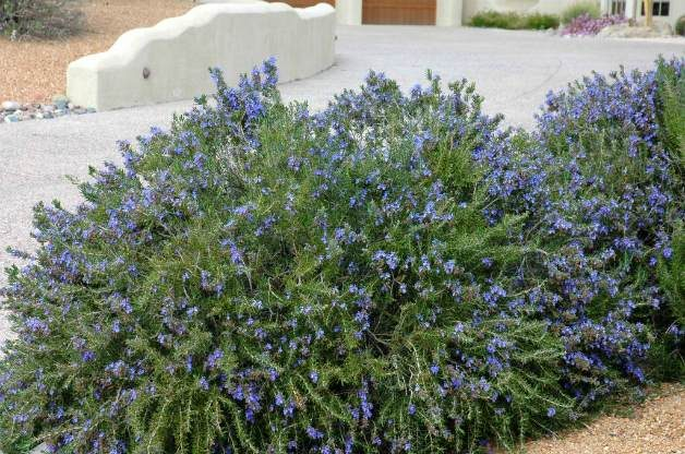Bright Blue Rosemary Shrub