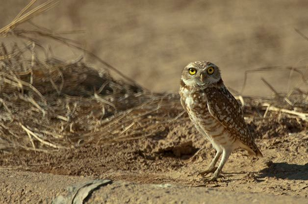 Burrowing Owls can be found through out the western US as well as in Florida.