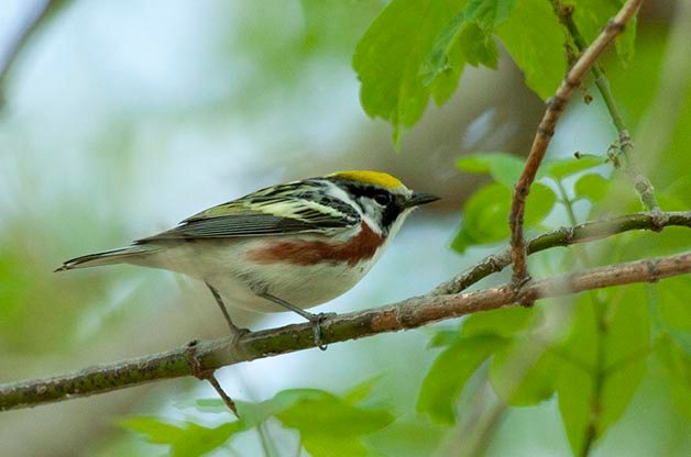 Chestnut-sided Warblers are always a crowd favorite at birding hotspots!
