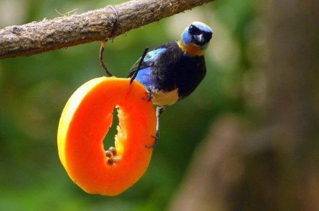 Costa Rica Birds Golden Hooded Tanager