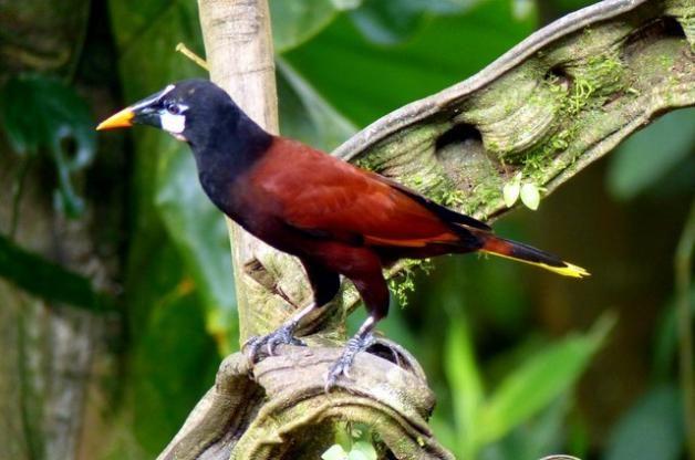 Costa Rica Birds Montezuma Oropendula