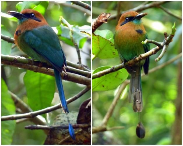 More Birds of Costa Rica - Birds and Blooms