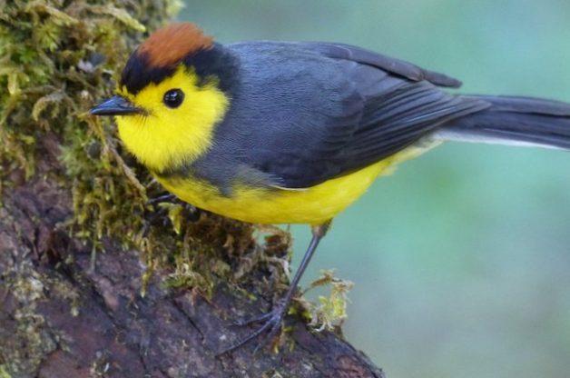 Costa Rica Birds Redstart