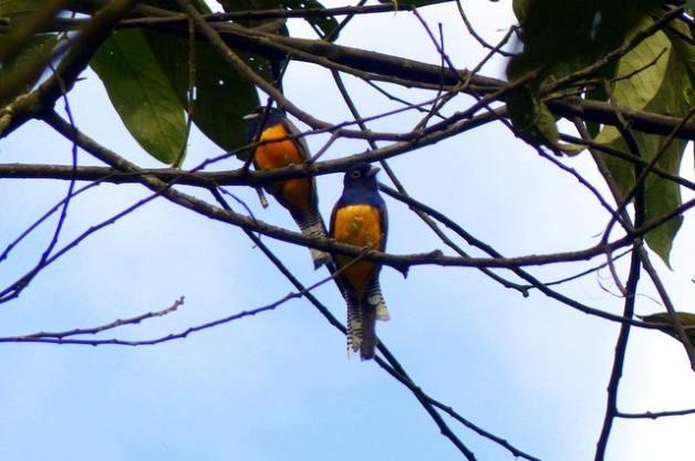 Costa Rica Birds Trogon