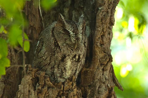 Eastern Screech Owls are one of the species that can be found near my home in Indiana. Like many owls, I hear them much more often than I see them.