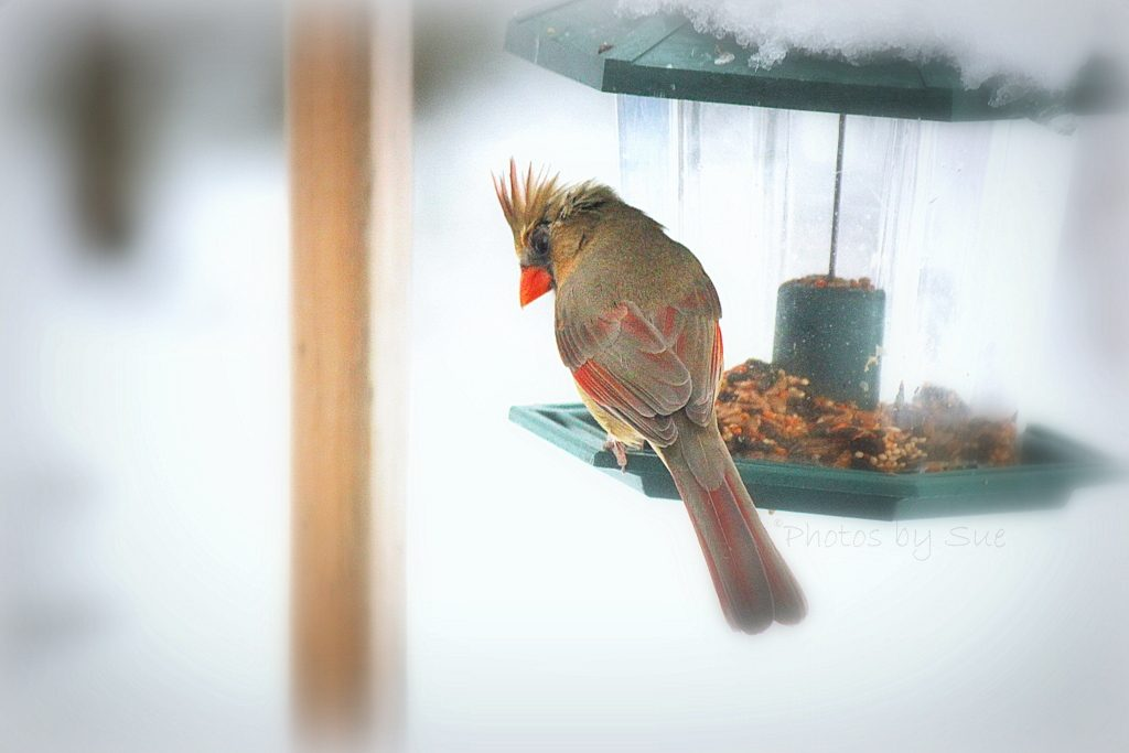 Male And Female Cardinals Stock Photos, Royalty-Free ...  Female Cardinal In Winter