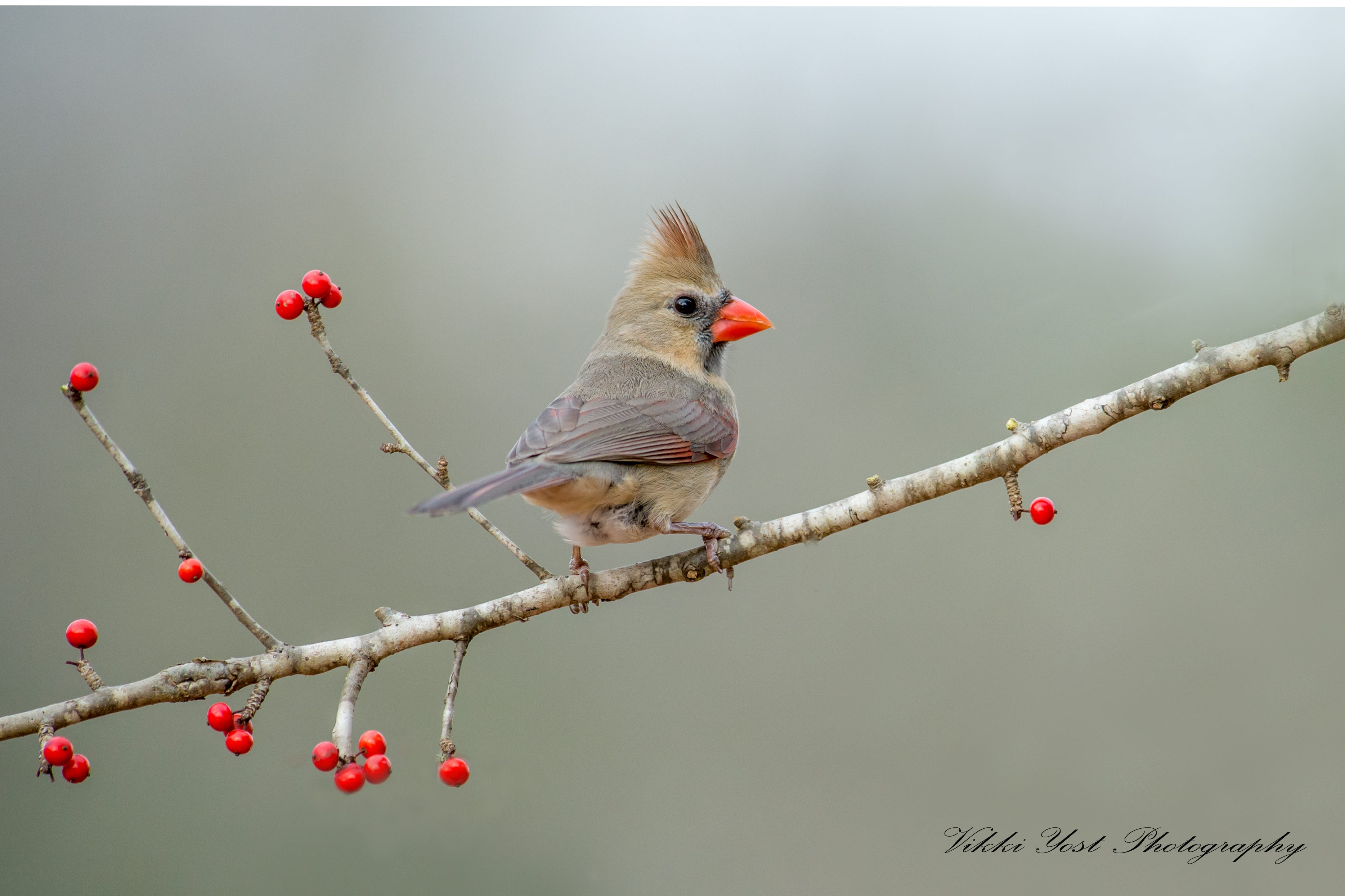Female northern cardinal birds and blooms