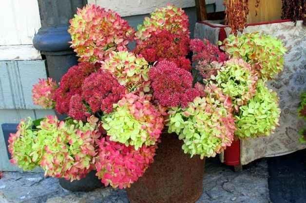 Flowers for Drying Hydrangea Sedum plantdoctorzn4