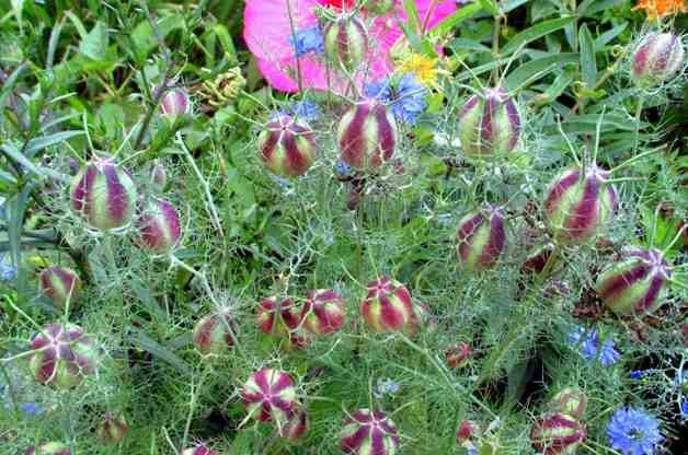 Flowers for Drying Nigella plantdoctorzn4