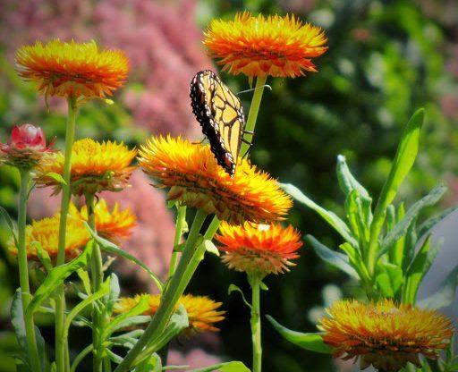 Flowers for Drying Strawflower plantdoctorzn4