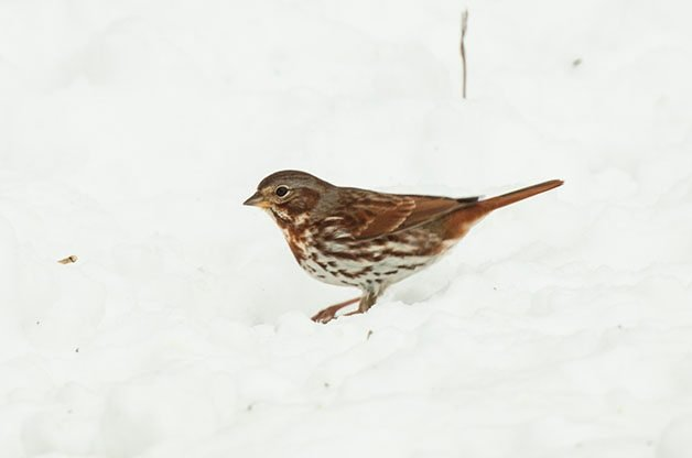 Fox Sparrows are slightly less common visitors at seed piles. This photo was taken in the Eastern US but if you live out West, you Fox Sparrows might look a little differed! (Check out their range map on eBird)