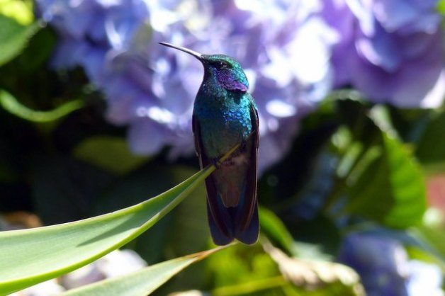 Hummingbird Costa Rica Green Violet Ear