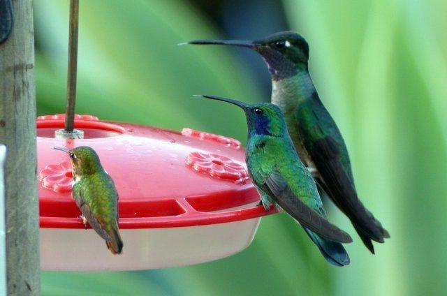 Hummingbird-Costa-Rica-Scintillant-F-Green-Violet-Ear-Magnificent.jpg