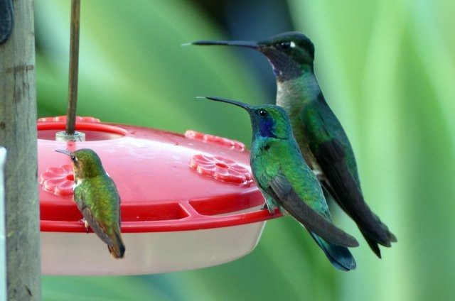 Hummingbird-Costa-Rica-Scintillant-F-Green-Violet-Ear-Magnificent.jpg