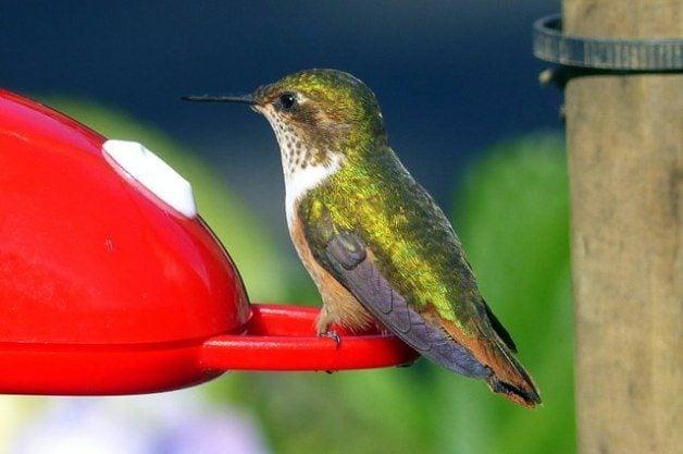 Hummingbird Costa Rica Scintillant F