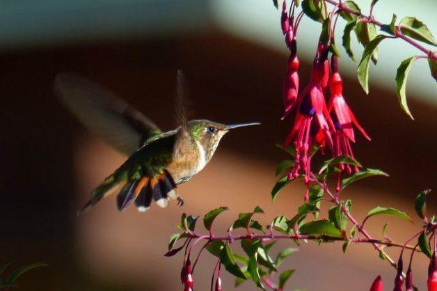 Hummingbird Costa Rica Volcano F