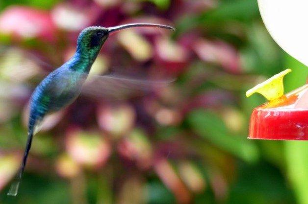 Hummingbirds Costa Rica Green Hermit M
