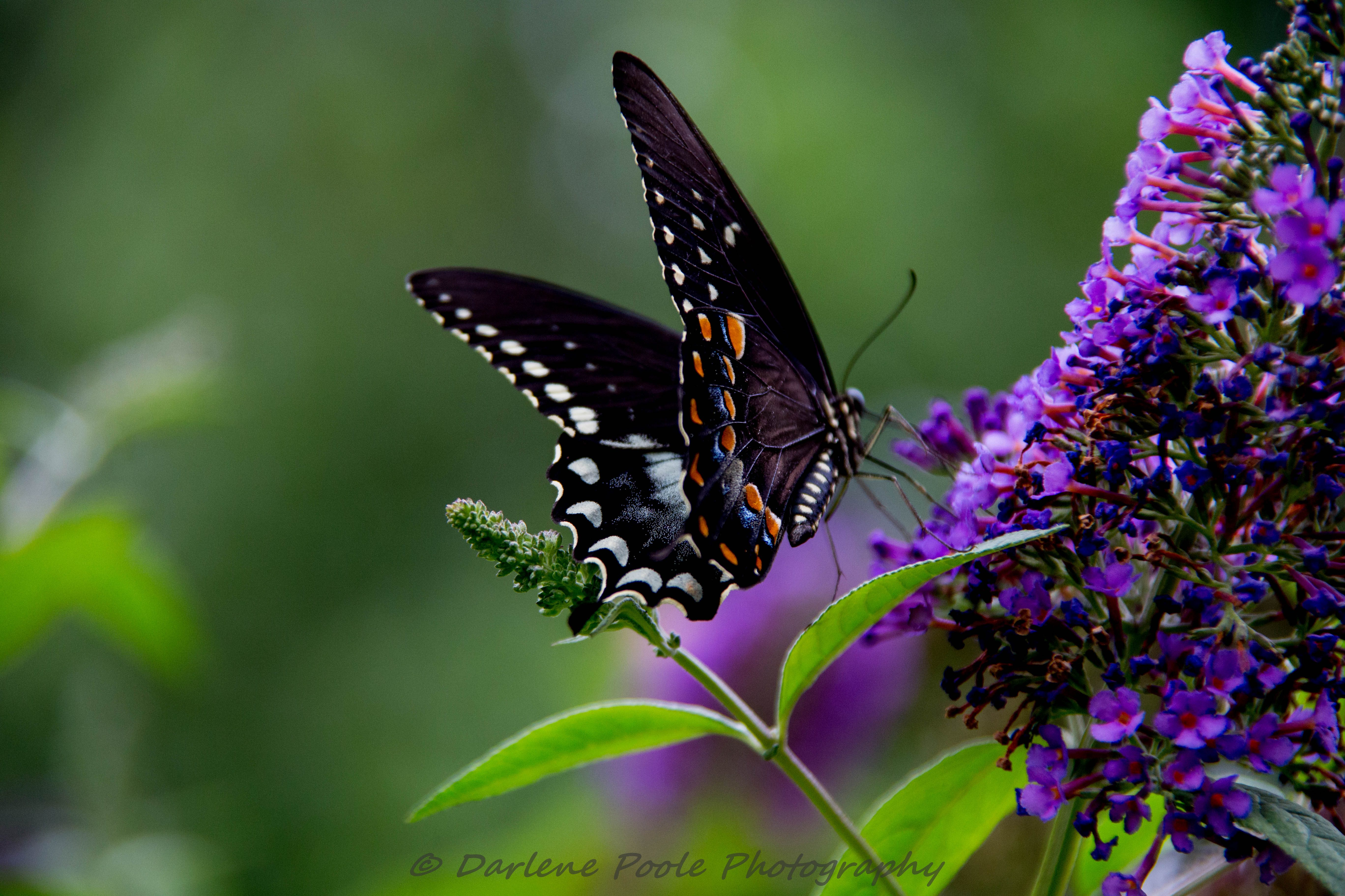 Beautiful Butterfly On Butterfly Bush Birds And Blooms