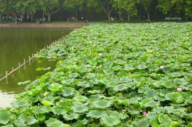 Lotus growing on West Lake