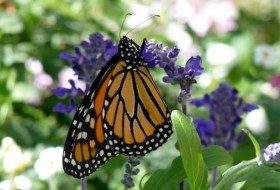 Monarch Update 2015