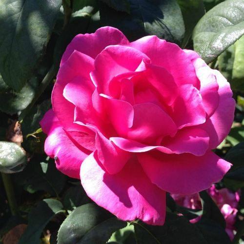 Pink Rose Santa Barbara Rose Garden