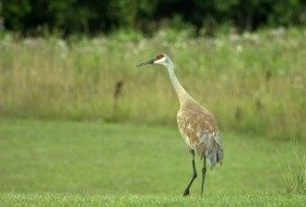 You can find Sandhill Cranes in large numbers at these birding hotspots.