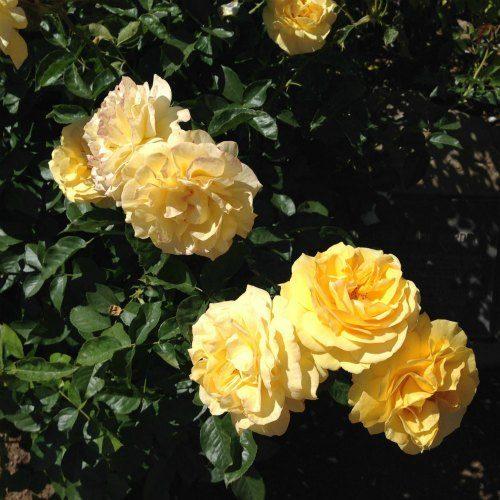 Santa Barbara Mission Rose Garden 4