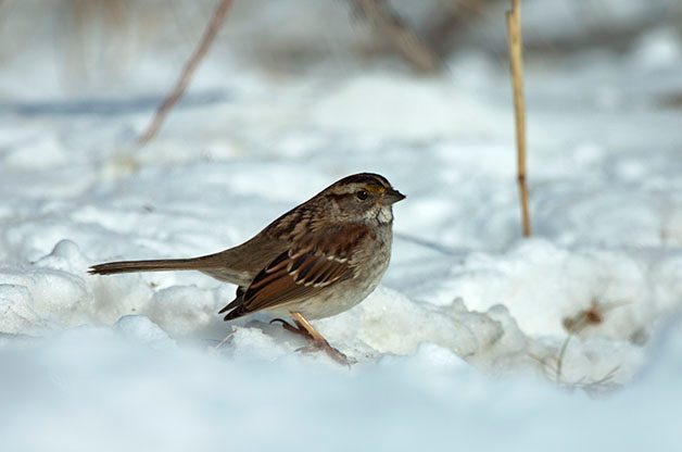 White-throated Sparrows are another common visitor at seed piles. (Check out their range map on eBird)