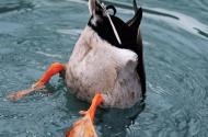 duckbutt