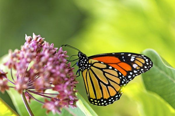 The Value of Milkweed