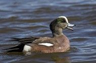 7 Types of Ducks to Look for This Spring