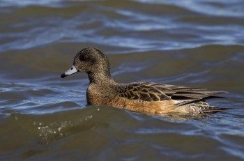 The female American Wigeon isn't quite as distinctive as the male.