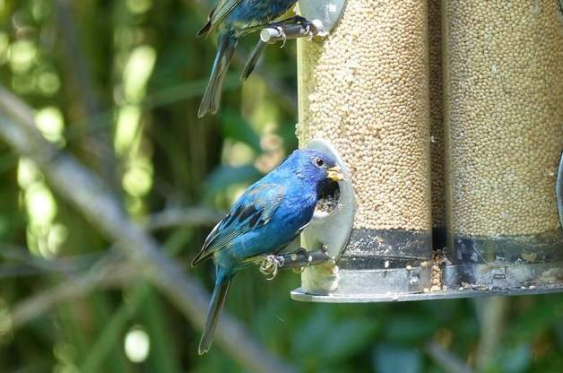 Attract Indigo Buntings Millet