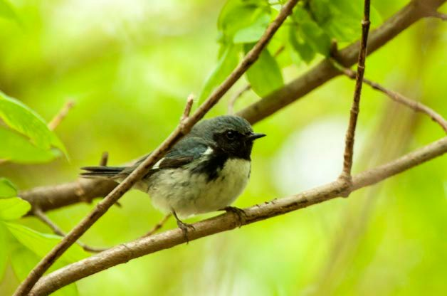 Since the Dry Tortugas sits much farther east than the other birding hotspots, more of the migrants that winter in the Caribbean can be found there. That includes species like this Black-throated Blue Warbler.