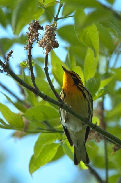 Blackburnian Warbler is one of the species that many birders are most excited to see.