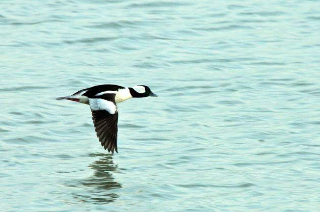 The pattern on the male Bufflehead in flight is beautiful!