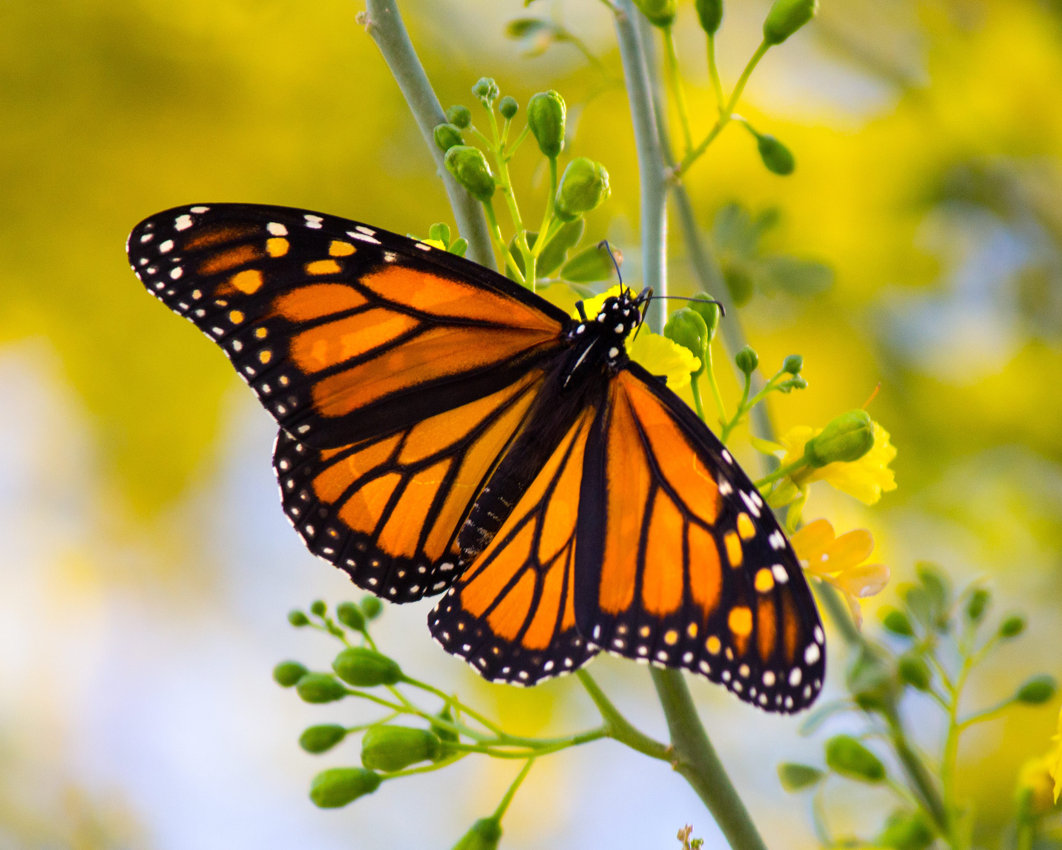 Monarch Butterfly Birds And Blooms