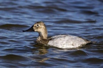 Although the female doesn't have the contrasting colors of the male Canvasback, notice how the head shape is consistent between the male and female.
