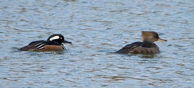 Like all of the species I've mentioned, the male Hooded Merganser is much flashier than the female.