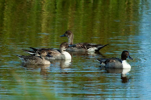 This flock contains pintail in several different plumages.