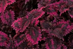 Shade annual coleus