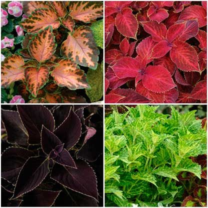Four shade annual coleus varieties