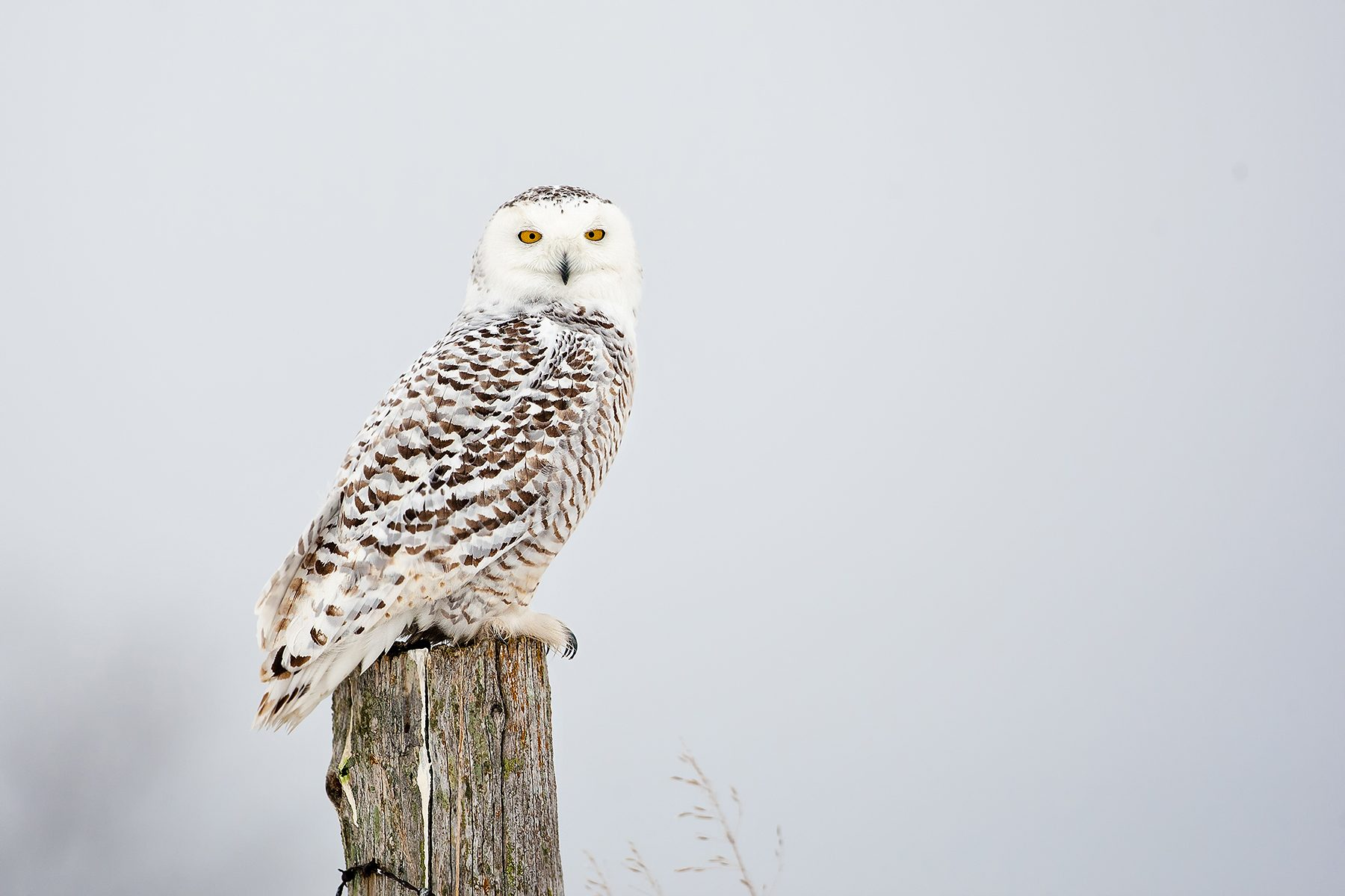 Young Snowy Owl Birds And Blooms