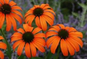 This is Tangerine Dream, a coneflower from Great Garden Plants