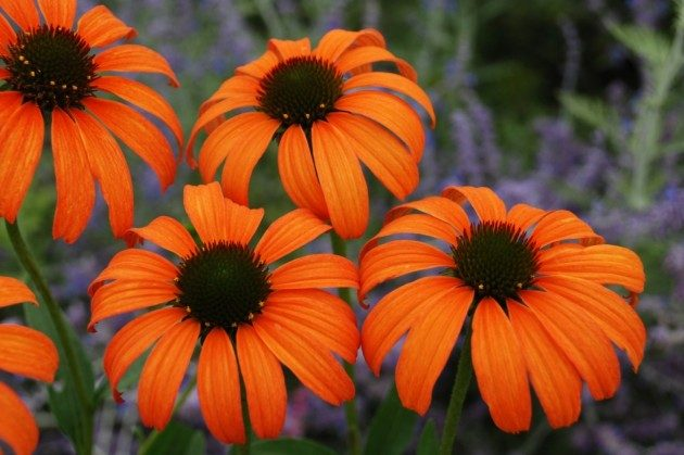 This Is Tangerine Dream A Coneflower From Great Garden Plants