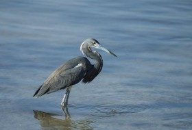 OK, sometimes there are cool birds like this Tricolored Heron at the beach too!